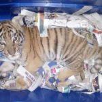 Pretendían enviar por paquetería a un cachorro de tigre en Tlaquepaque