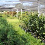 Inicia Tonalá campaña de recolección de árboles navideños; harán composta