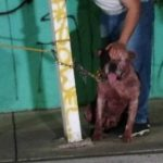 Liberarán a pitbull que atacó y mató a presunto ladrón