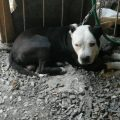 Perro de raza pitbull mata a mujer en Tlaquepaque